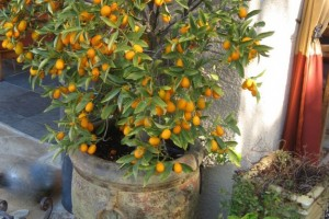 KUMQUAT FRUIT TREE