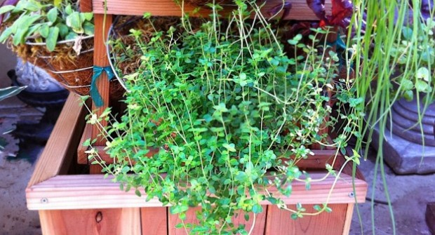 Growing Herbs: Oregano