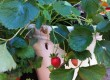 Foodie Gardener Design Tip: Strawberry Planters