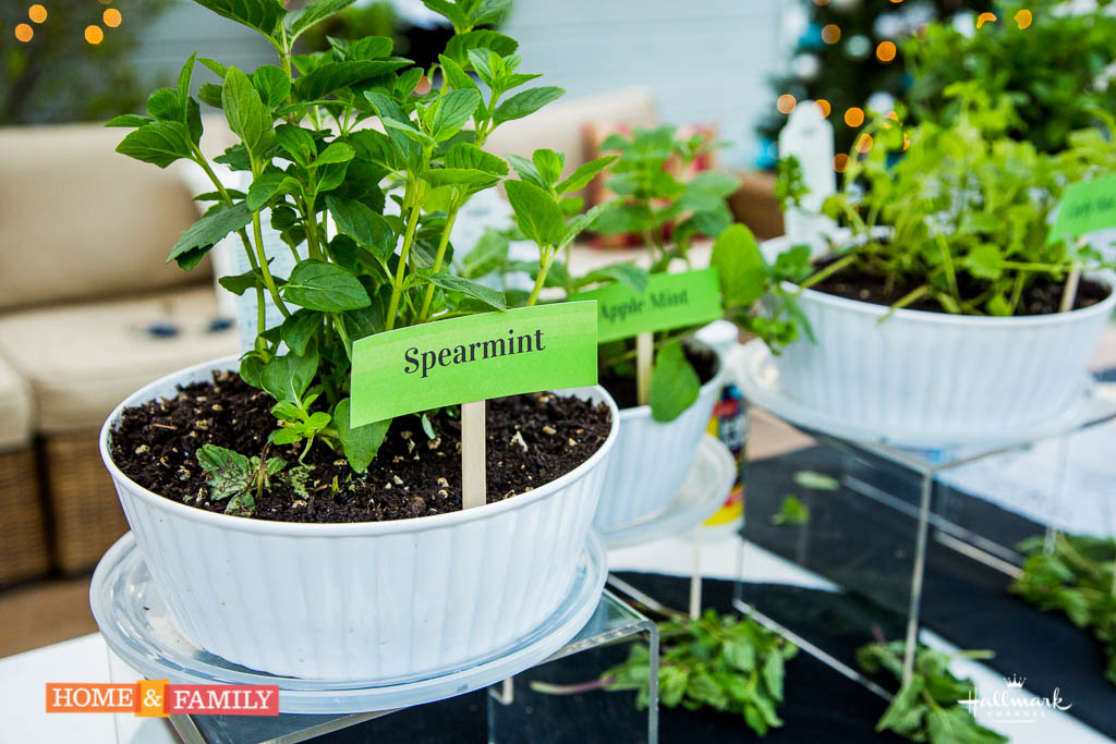 Grow Mint Indoors Spearmint And Peppermint