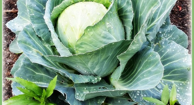 Grow Cabbage, It's Easy